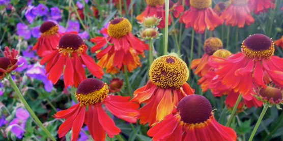 helenium-dark-beauty